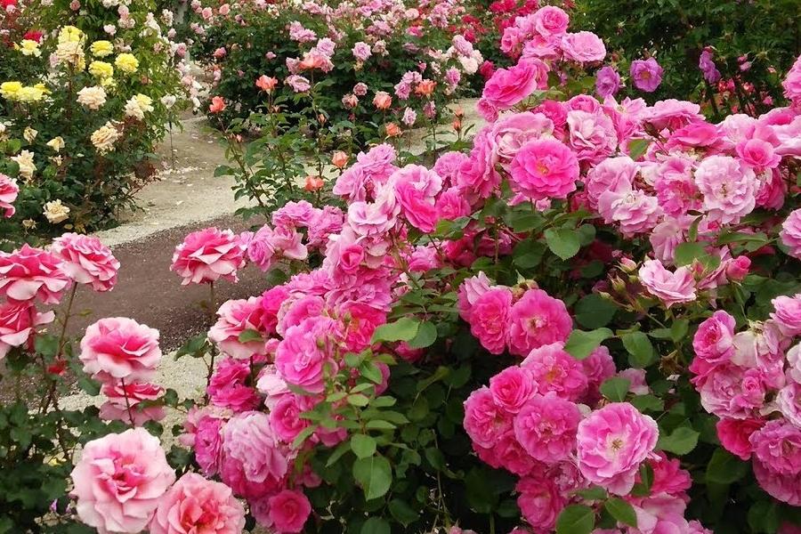 roze okrywowe czy parkowe - wybieramy sadzonki roz